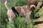 LAGOTTO DISTINGUISHED LINEAGE-Non-shed #1Premium | Puppy at 13 weeks of age for sale