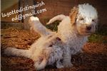 Picture of Purebred Lagotto Puppies available