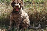 Picture of LAGOTTO Non-shedding Hypo Allergenic Puppy Reg'd