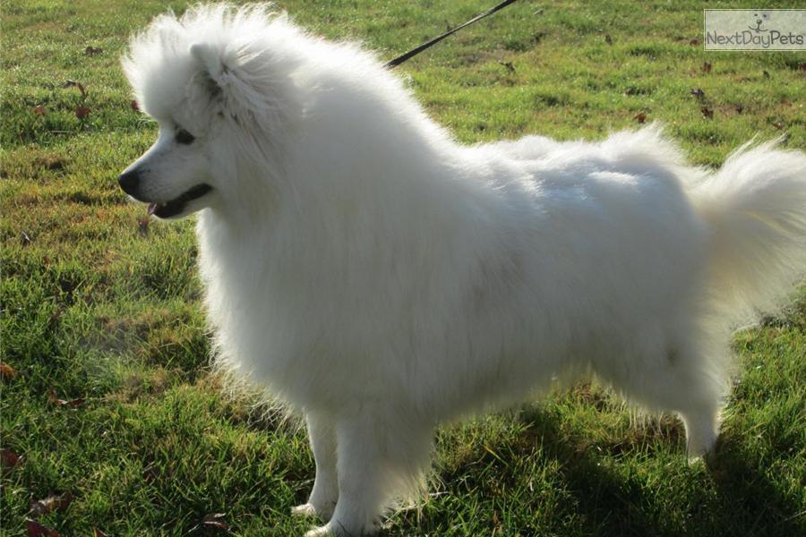 American Eskimo Dog Buy - Marcpous