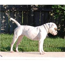 View full profile for Rowdy American Bulldogs