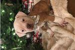 Picture of NKC American bulldog
