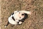 Picture of NKC registered American bulldog