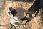 Picture of American bulldog puppy