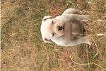 Picture of NKC reg. American bulldog