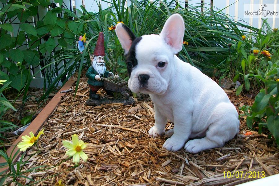 french bulldog for sale mn french bulldog puppy for sale near minneapolis st paul 6469