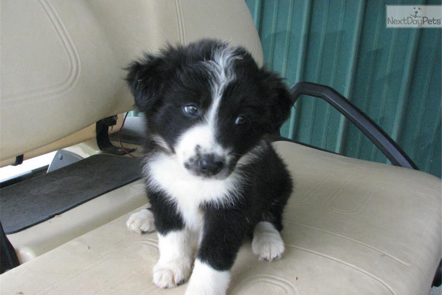Border Collie Puppy For Sale Near Cincinnati Ohio