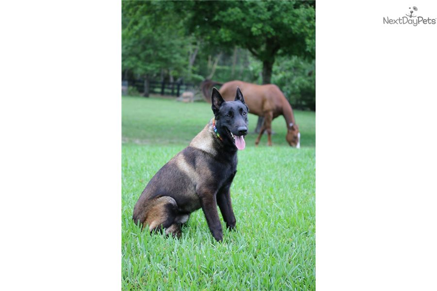 West Palm Beach Dogs For Sale