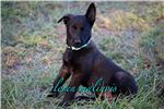 Picture of Dark Sable Malinois