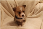 Welsh Corgi, Pembroke Puppies for Sale from Sioux Falls / SE
