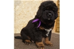 Picture of a Tibetan Mastiff Puppy