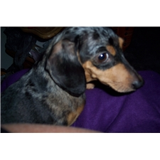 View full profile for Pride In My Dachshunds