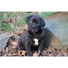 View full profile for Old World Cane Corso