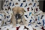 Picture of AKC Akita Puppy (Vego)