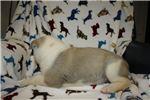 Picture of AKC Akita Puppy (Vasthi)