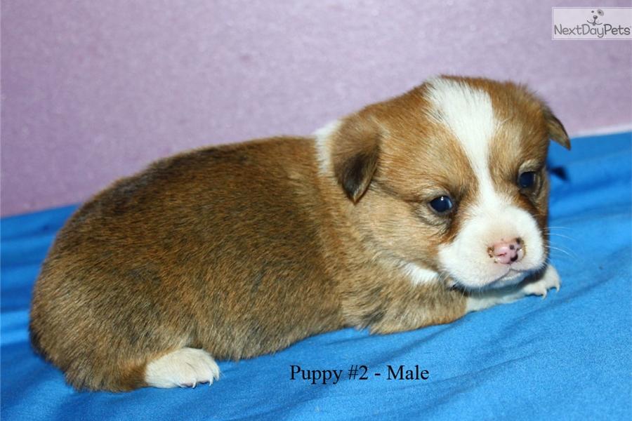 Corgi puppy for sale near La Crosse, Wisconsin   2aa6a422-56c1