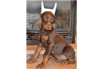 Picture of a Doberman Pinscher Puppy