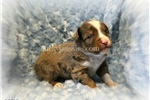 Miniature American Shepherds for sale