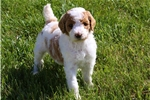 Featured Breeder of Bernedoodles with Puppies For Sale