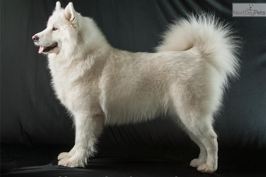 Pink Samoyed Puppy For Sale Near Kalispell Montana 40c816d5 9ff1