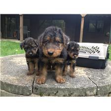 View full profile for Aubert's Airedales