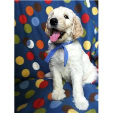View full profile for Corona Goldens And Goldendoodles