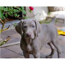 View full profile for Sapphire Weimaraners