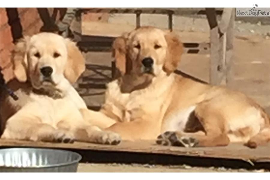 Purple Male English Golden Retriever Puppy For Sale Near Atlanta