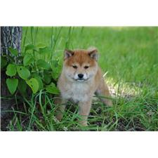 View full profile for Shiba Puppies