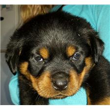 View full profile for King Rottweilers