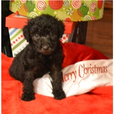 View full profile for Highcountry Labradoodles