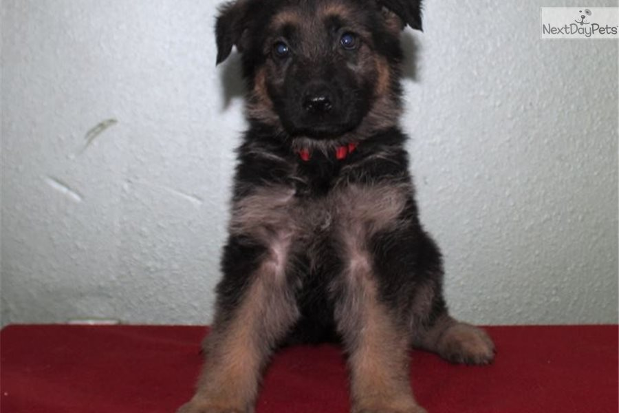 Red: German Shepherd puppy for sale near Mcallen