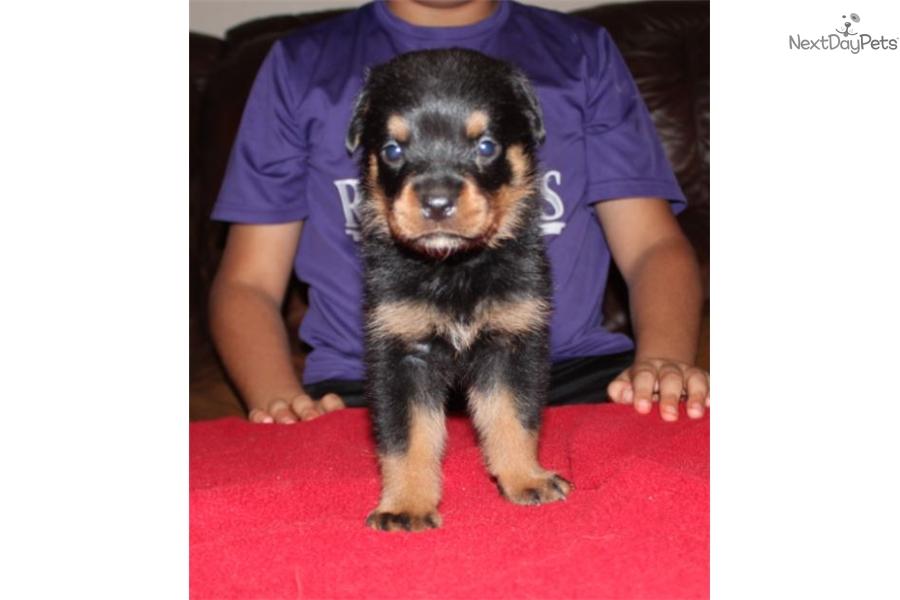 Blue Rottweiler Puppy For Sale Near Mcallen Edinburg Texas