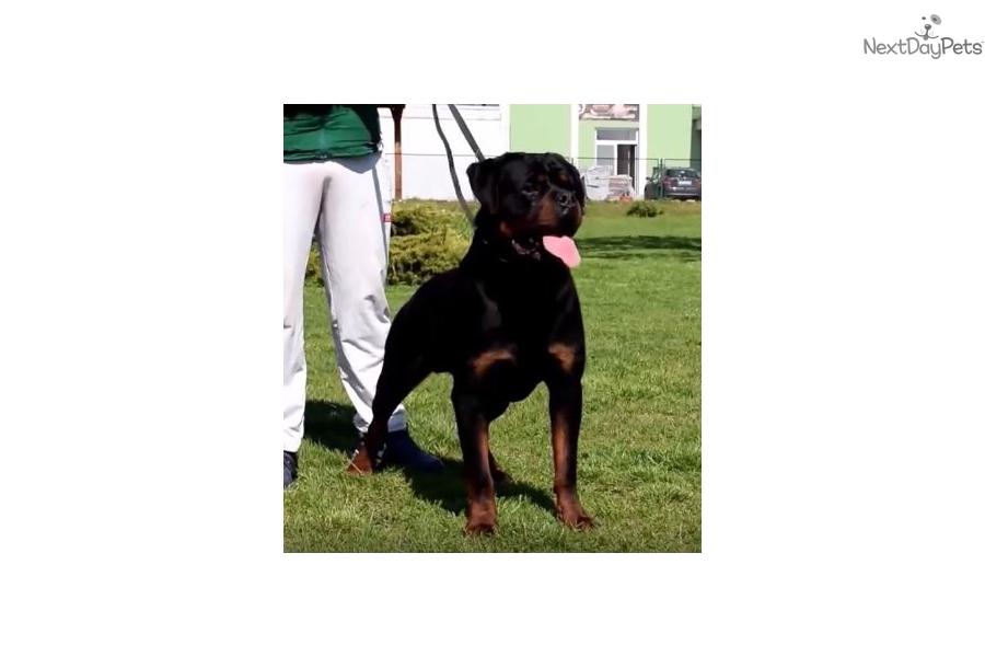 White Male Rottweiler Puppy For Sale Near Mcallen Edinburg Texas