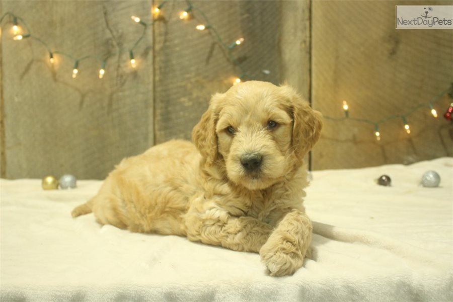 Western Maryland Dogs For Sale