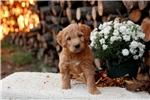Goldendoodle for sale