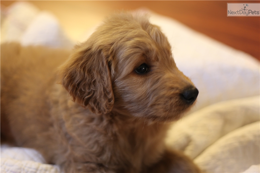 Goldendoodle puppy for sale near Sacramento, California | 36143084-b101