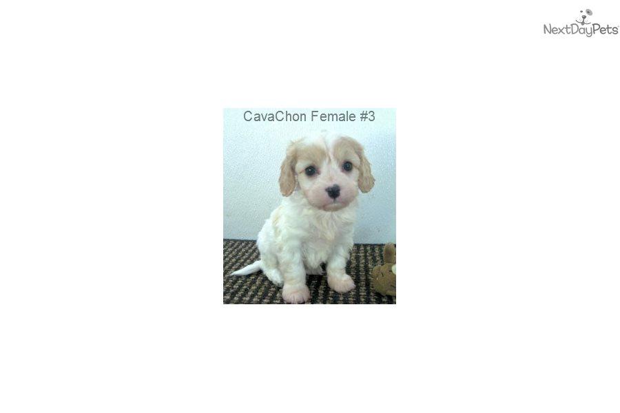Cavachon F3: Cavachon puppy for sale near Nashville, Tennessee