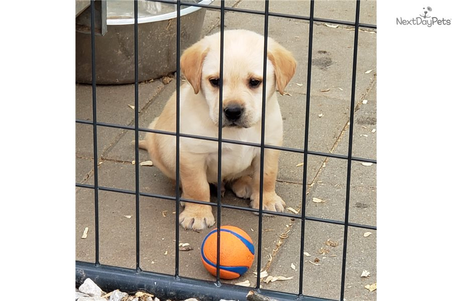 Blue Boy Yellow: Labrador Retriever puppy for sale near