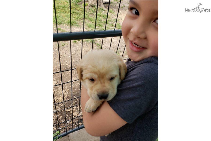 Purple Collar Girl: Labrador Retriever puppy for sale near