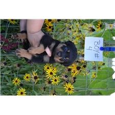 View full profile for Okanogan Rottweilers