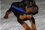 Picture of AKC DOBERMAN PUPPY BLACK & TAN BOY