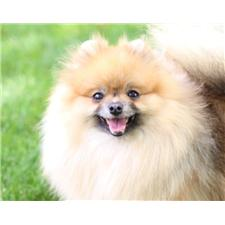 View full profile for Karakoussi's Pomeranians