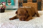 Picture of Sophia- our Chocolate and Tan Min Pin Princess