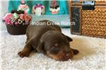 Picture of Latte- our Chocolate and Tan Min Pin Prince