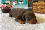 Picture of Mocha- our Chocolate and Tan Min Pin Prince