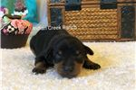 Picture of Leo- our APRI Registered Black and Tan Min Pin Boy