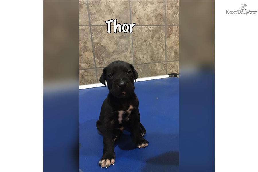 Thor: Great Dane puppy for sale near Champaign Urbana