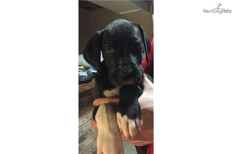Puppies For Sale Champaign Il
