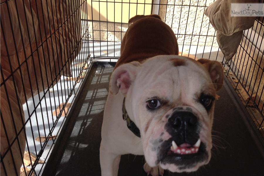english bulldog puppies for sale in bay area english bulldog puppy for sale near ta bay area 6425